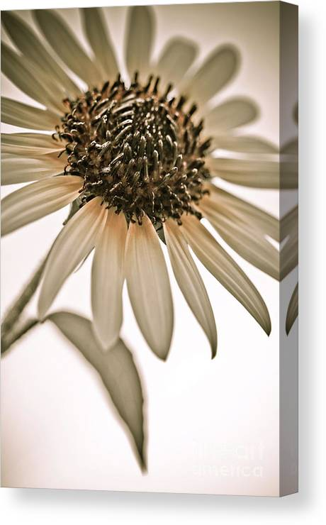 Sunflower Canvas Print featuring the photograph Sunflowers by LS Photography