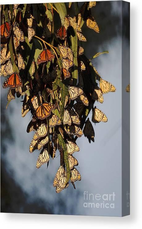Butterflies Canvas Print featuring the photograph Butterflies by Marc Bittan