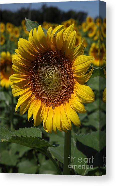 Sunflowers Canvas Print featuring the photograph Sunflower Series by Amanda Barcon