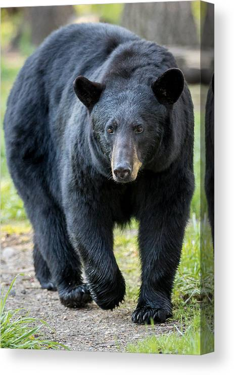 Bears Canvas Print featuring the photograph Black Bear  by Mary Jo Cox