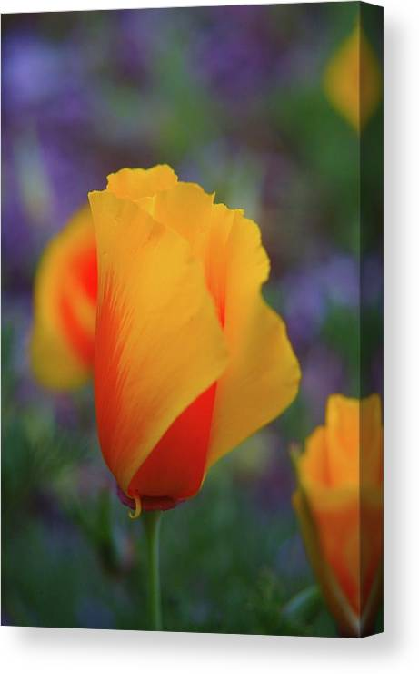 Poppies Canvas Print featuring the photograph A Poppy Furled by Jeff Swan