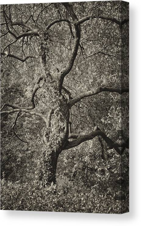 Tree Canvas Print featuring the photograph A Victorian Tree by Robert Ullmann