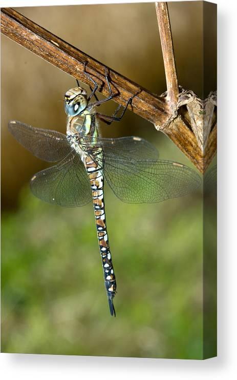Aeshna Mixta Canvas Print featuring the photograph Aeshna Mixta Dragonfly by Bob Kemp