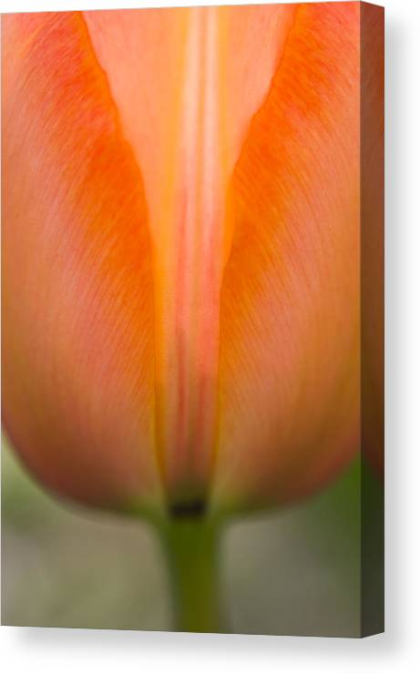 Tulip Canvas Print featuring the photograph Aglow by Valerie Fuqua