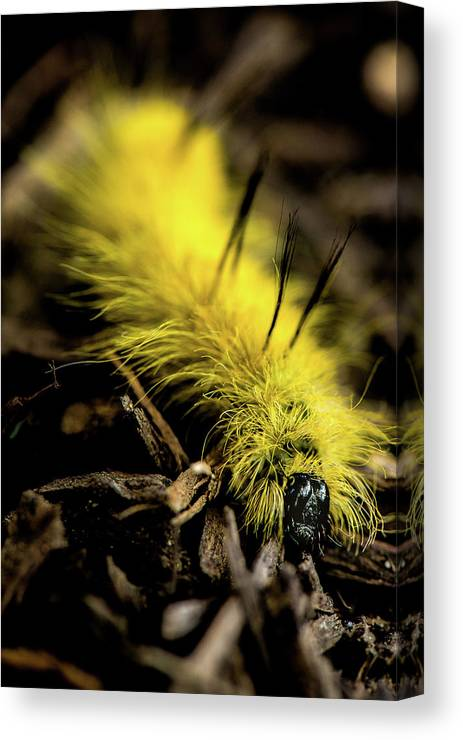 Acronicta Americana Canvas Print featuring the photograph American Dagger Moth Caterpillar by Onyonet Photo Studios