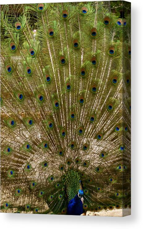 Zoo Canvas Print featuring the photograph Angry Peacock by Sonja Anderson