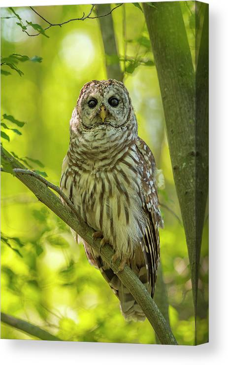 Owl Canvas Print featuring the photograph Barred Owl by Joe Gliozzo