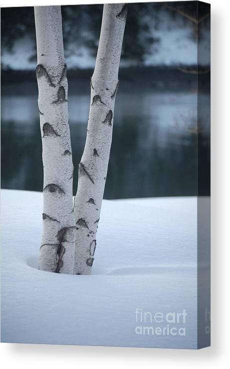 Birch Canvas Print featuring the photograph Birch Twins In Snow by Faith Harron Boudreau