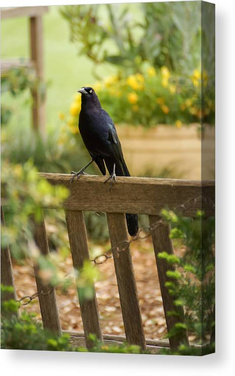 Nature Canvas Print featuring the photograph Black Bird by Stacie Paris