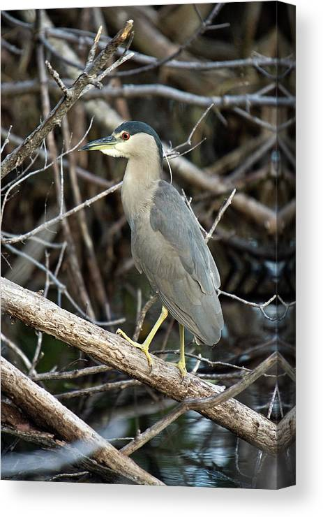 Heron Canvas Print featuring the photograph Black Crown Night Heron by Rodney Cammauf