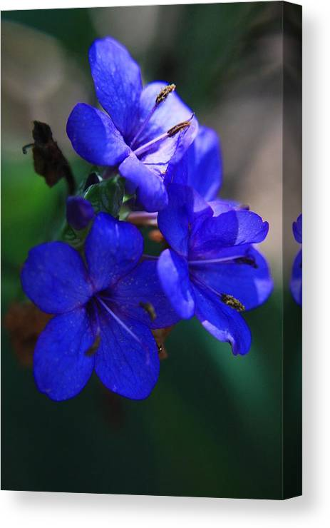Blue Flowers Canvas Print featuring the photograph Blue For The Sun by Mandy Shupp