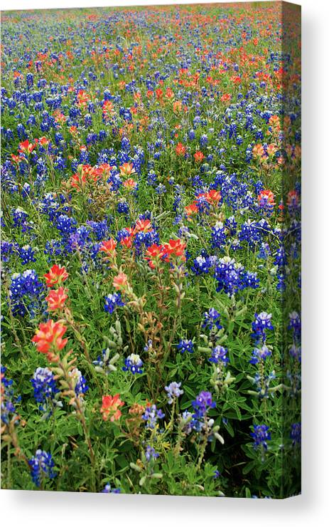 Bluebonnet Pink And Yellow Indian Paintbrush Wild Flowers Landscapes In Texas Canvas Print featuring the photograph Bluebonnets And Paintbrushes 3 - Texas by Brian Harig