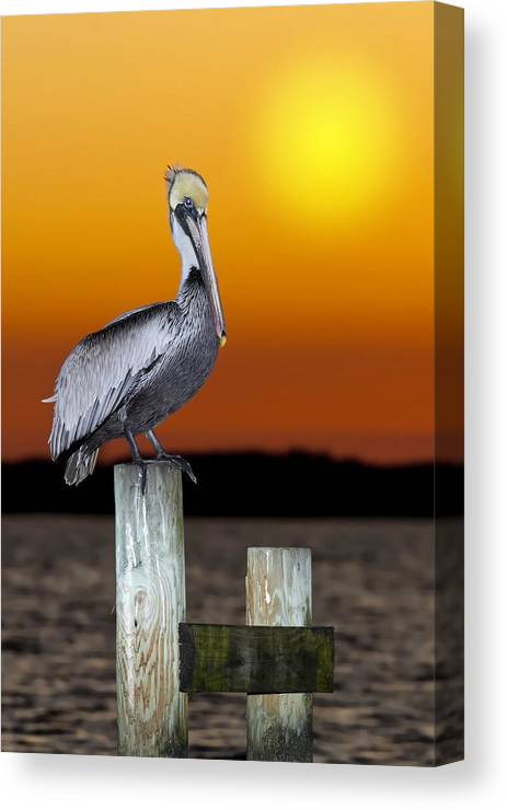 Brown Pelican Canvas Print featuring the photograph Brown Pelican by Janet Fikar