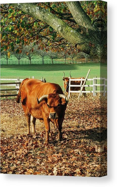 Bull Canvas Print featuring the photograph Bull by Yan Motta