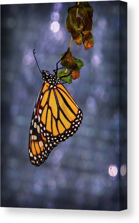 Hanging Canvas Print featuring the photograph Butterfly Hanging From Leaf by Garry Gay