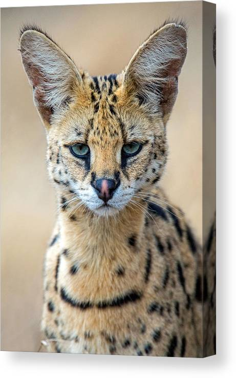 Photography Canvas Print featuring the photograph Close-up Of Serval Leptailurus Serval by Panoramic Images