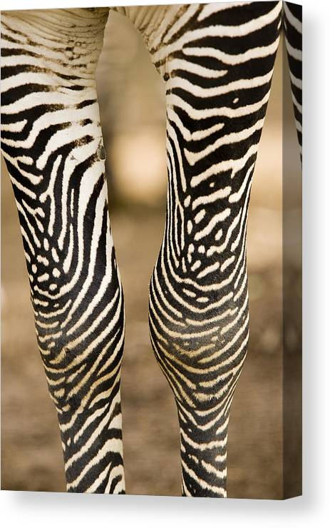 Captive Animals Canvas Print featuring the photograph Closeup Of A Grevys Zebras Legs Equus by Tim Laman