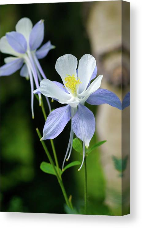 Beauty Canvas Print featuring the photograph Colorado Blue Columbine by Crystal Garner