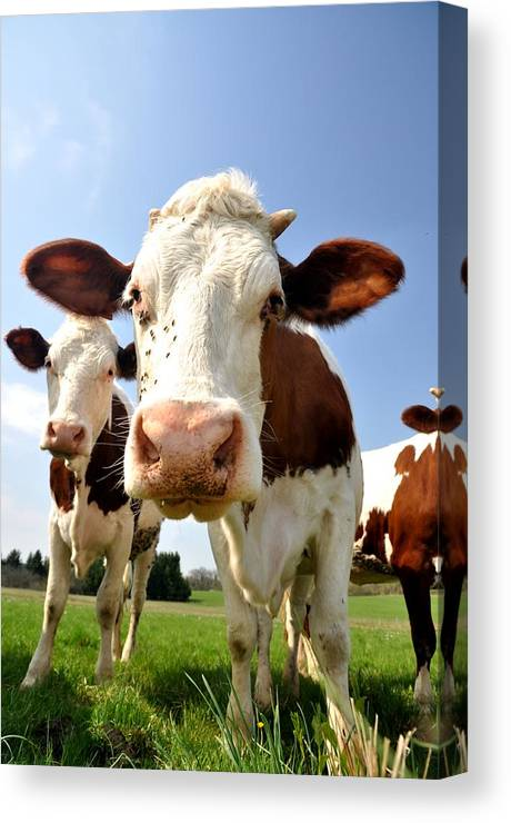 Cow Canvas Print featuring the photograph Curious Cow by Hans Kool