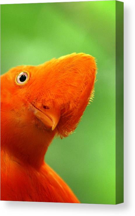 Orange Bird Canvas Print featuring the photograph Curious by Linda Russell