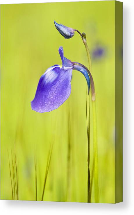Flower.flora Canvas Print featuring the photograph Deep Purple by Pramod Bansode