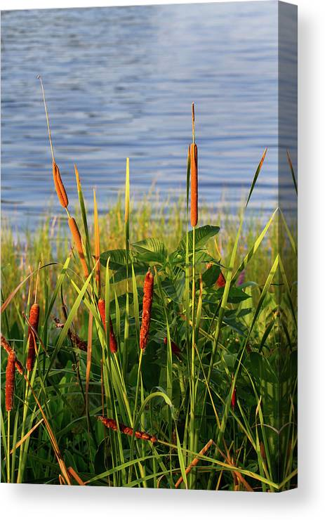 Nature Canvas Print featuring the photograph Early Morning Cattails by Arthur Dodd