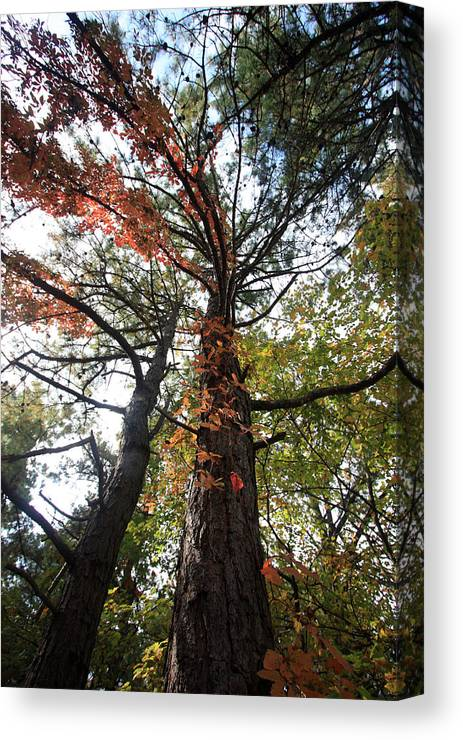 Trees Canvas Print featuring the photograph Fall Tall by Mary Haber