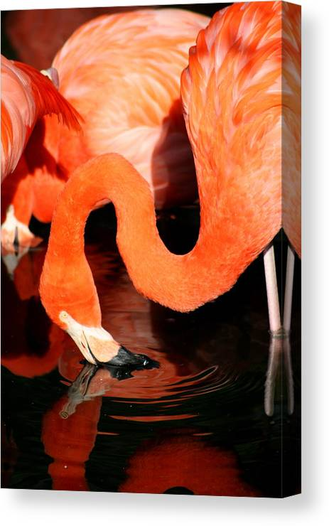 Pink Canvas Print featuring the photograph Flamingo Taking A Dip by David Dunham