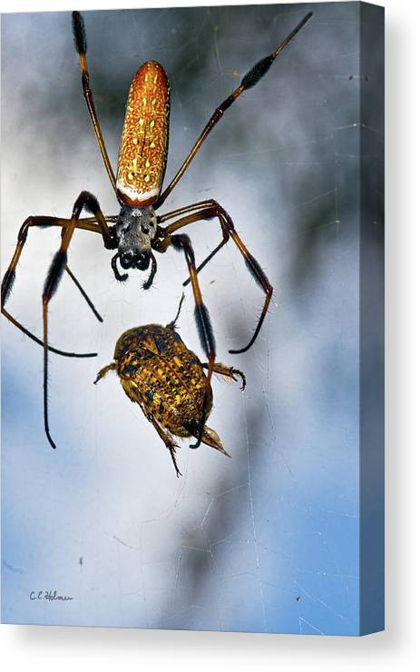 Golden Silk Orb-weaver Canvas Print featuring the photograph Flew In For Dinner by Christopher Holmes