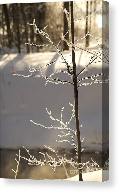 Light Canvas Print featuring the photograph Frosted Branches by Elaine Mikkelstrup
