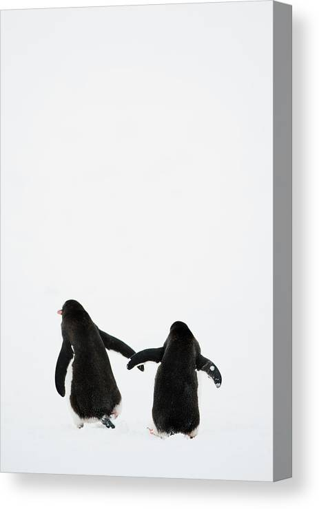 Vertical Canvas Print featuring the photograph Gentoo Penguin (pygoscelis Papua) by Elliott Neep
