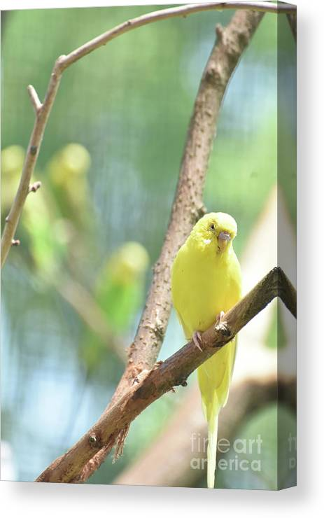 Budgie Canvas Print featuring the photograph Grand Close Up Of An Adorable Yellow Parakeet by DejaVu Designs