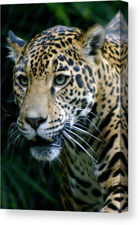 Zoo Canvas Print featuring the photograph Jaguar by Sonja Anderson