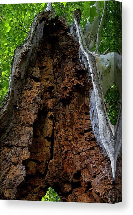 Rotted Tree Canvas Print featuring the photograph Lady Of The Forest by Murray Bloom