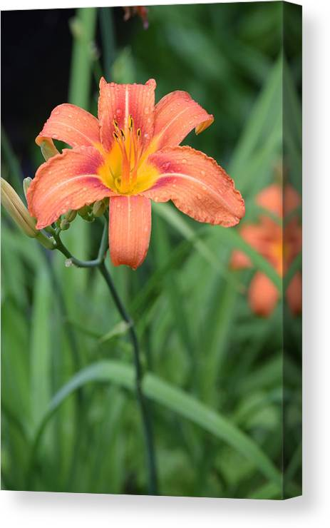 Canvas Print featuring the photograph Lily by Amanda Bender