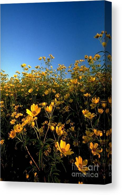 Buttercups Canvas Print featuring the photograph Lots Of Buttercups Against A Blue Sky by Sven Brogren
