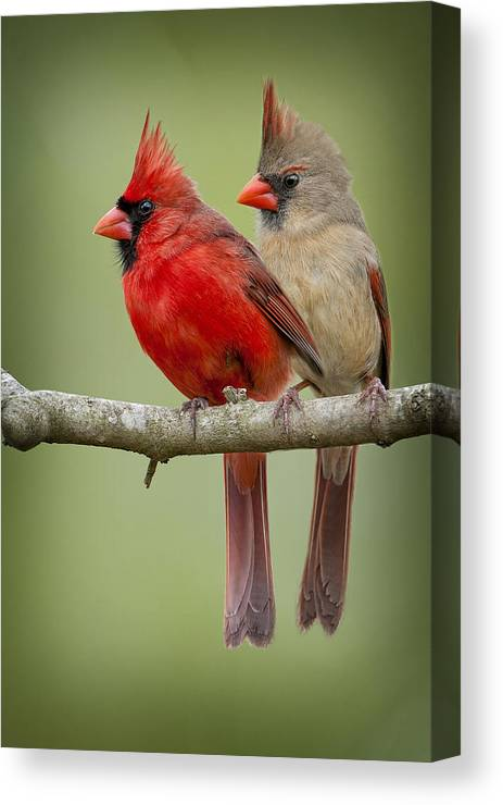 Cardinal Canvas Prints Fine Art America