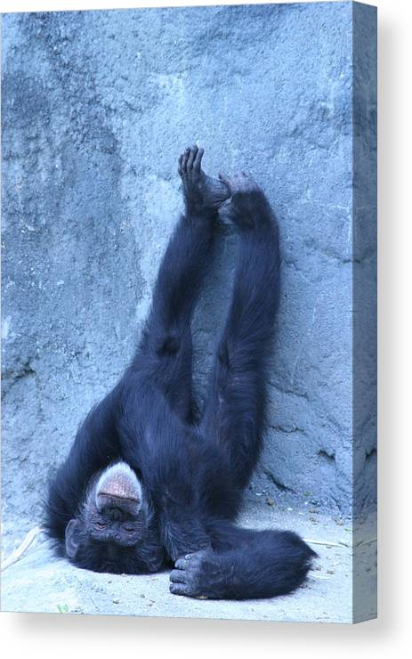 Monkey Canvas Print featuring the photograph Nap Time by Linda Russell