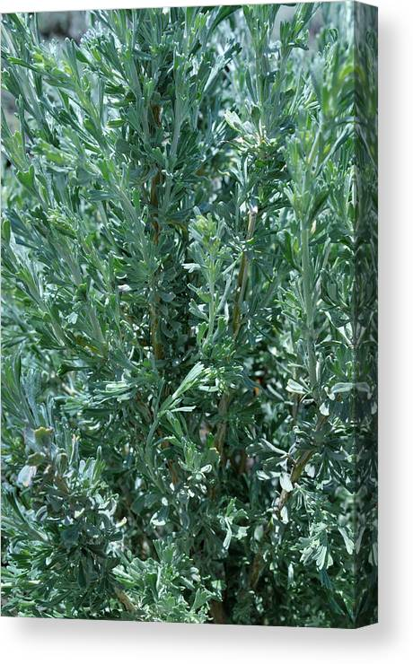 Landscape Canvas Print featuring the photograph New Sage by Ron Cline