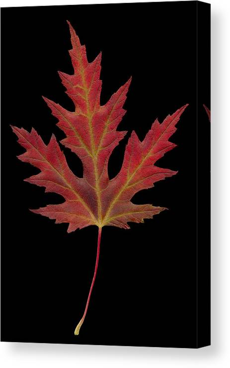 Abstract Canvas Print featuring the photograph Autmn Leaf by Karl Fritz