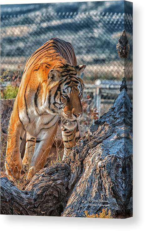 Photography Canvas Print featuring the photograph On The Prowl by Daryl Nickelson