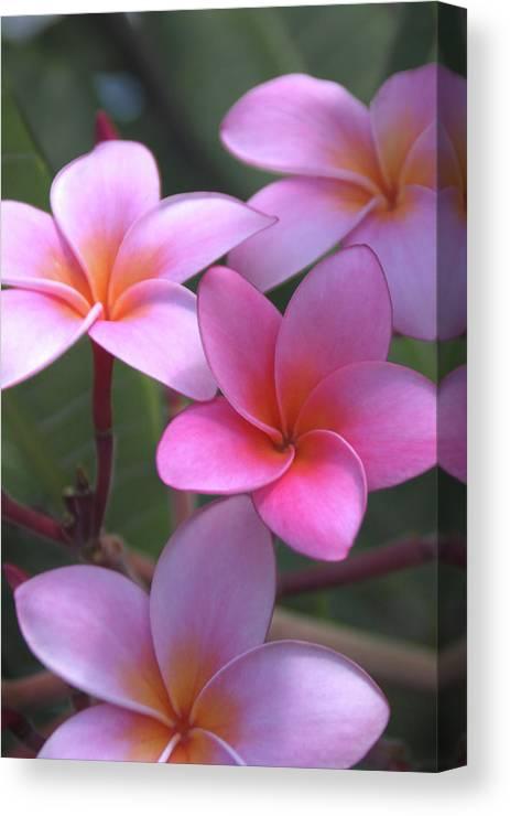 Plumeria Canvas Print featuring the photograph Pink Plumeria by Brian Harig