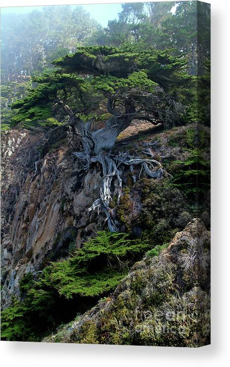Landscape Canvas Print featuring the photograph Point Lobos Veteran Cypress Tree by Charlene Mitchell