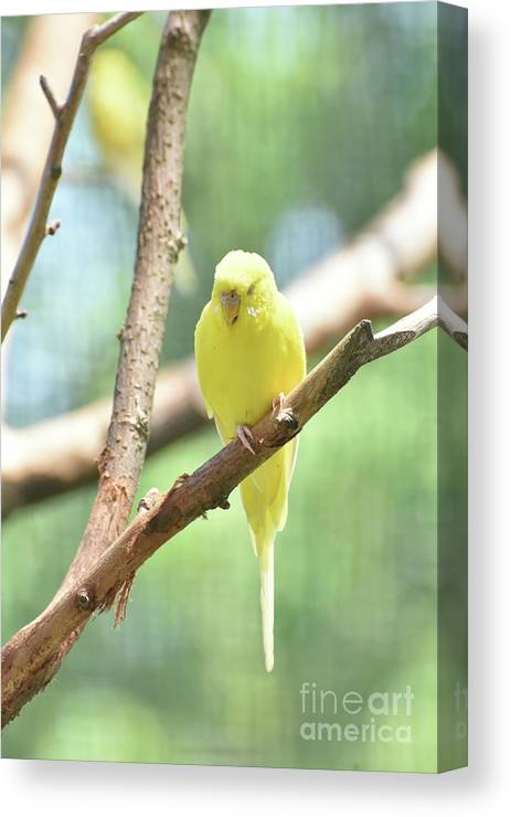 Budgie Canvas Print featuring the photograph Precious Little Yellow Parakeet In The Wild by DejaVu Designs