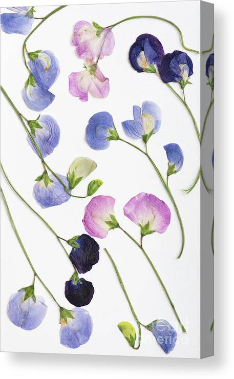 Pressed Canvas Print featuring the photograph Pressed Sweet Peas by Tim Gainey