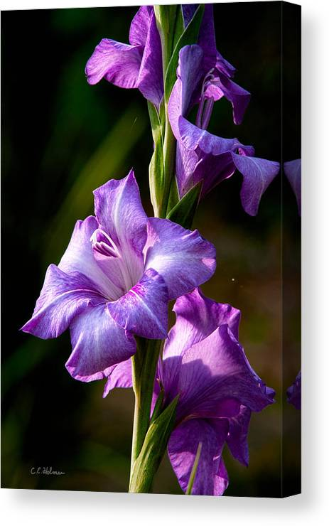 Gladiolas Canvas Print featuring the photograph Purple Glads by Christopher Holmes