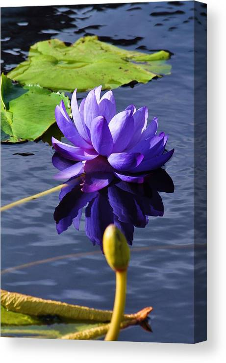 Floral Canvas Print featuring the photograph Purple Water Lily by Andrea Everhard
