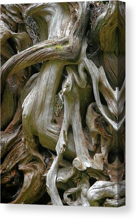 Roots Canvas Print featuring the photograph Quinault Valley Olympic Peninsula Wa - Exposed Root Structure Of A Giant Tree by Christine Till