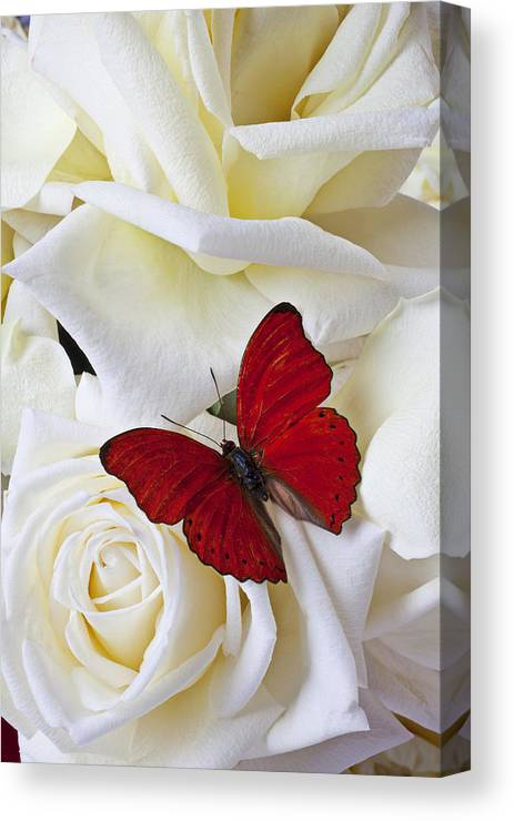 Red Canvas Print featuring the photograph Red Butterfly On White Roses by Garry Gay