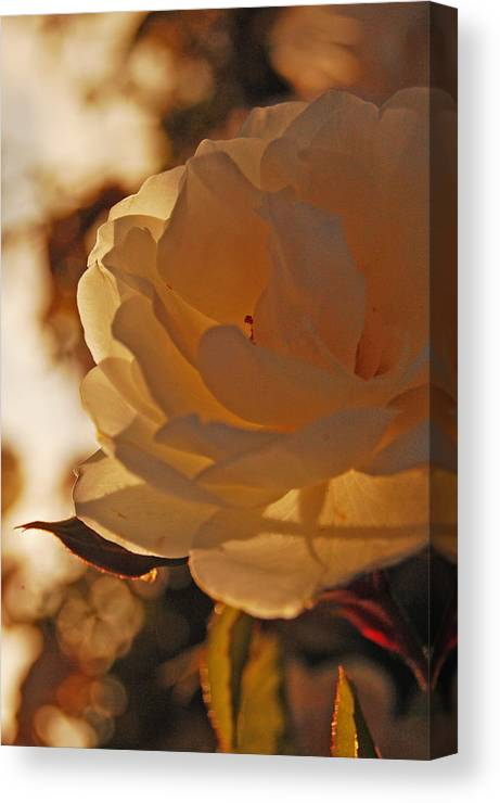 Rose Canvas Print featuring the photograph Rosy Afternoon 3 by Jean Booth